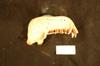 http://mczbase.mcz.harvard.edu/specimen_images/mammalogy/large/37746_Trachypithecus_pyrrhus_ml.jpg
