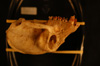 http://mczbase.mcz.harvard.edu/specimen_images/mammalogy/large/37943_Colobus_badius_nigrimanus_hl.jpg