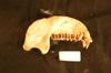 http://mczbase.mcz.harvard.edu/specimen_images/mammalogy/large/37943_Colobus_badius_nigrimanus_ml.jpg