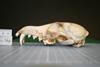 http://mczbase.mcz.harvard.edu/specimen_images/mammalogy/large/38088_vulpes_ferrilata_hl.jpg