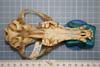 http://mczbase.mcz.harvard.edu/specimen_images/mammalogy/large/38088_vulpes_ferrilata_hv.jpg