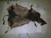 http://mczbase.mcz.harvard.edu/specimen_images/mammalogy/large/38108_Novibos_sauveli_d.jpg