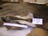 http://mczbase.mcz.harvard.edu/specimen_images/mammalogy/large/38108_Novibos_sauveli_led_d.jpg