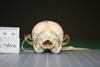 http://mczbase.mcz.harvard.edu/specimen_images/mammalogy/large/38619_vulpes_macrotis_tenuirostris_hp.jpg
