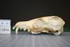 http://mczbase.mcz.harvard.edu/specimen_images/mammalogy/large/38623_Vulpes_macrotis_mutica_hl.jpg