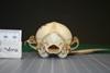 http://mczbase.mcz.harvard.edu/specimen_images/mammalogy/large/38623_Vulpes_macrotis_mutica_hp.jpg