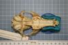 http://mczbase.mcz.harvard.edu/specimen_images/mammalogy/large/38623_Vulpes_macrotis_mutica_hv.jpg