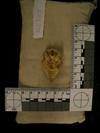 http://mczbase.mcz.harvard.edu/specimen_images/mammalogy/large/38875_Galago_senegalensis_moholi_hv.jpg