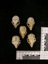 http://mczbase.mcz.harvard.edu/specimen_images/mammalogy/large/38915_Galago_senegalensis_zanzibaricus_hd.jpg