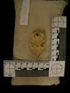http://mczbase.mcz.harvard.edu/specimen_images/mammalogy/large/38915_Galago_senegalensis_zanzibaricus_hv.jpg