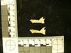 http://mczbase.mcz.harvard.edu/specimen_images/mammalogy/large/38915_Galago_senegalensis_zanzibaricus_ml.jpg