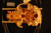 http://mczbase.mcz.harvard.edu/specimen_images/mammalogy/large/39400_Colobus_badius_tephrosceles_hv.jpg