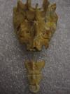 http://mczbase.mcz.harvard.edu/specimen_images/mammalogy/large/41411_hylobates_lar_lar_sacrum2.jpg