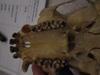 http://mczbase.mcz.harvard.edu/specimen_images/mammalogy/large/41414_hylobates_lar_lar_hv.jpg