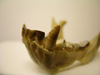 http://mczbase.mcz.harvard.edu/specimen_images/mammalogy/large/41419_Hylobates_lar_lar_ml.jpg