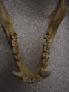 http://mczbase.mcz.harvard.edu/specimen_images/mammalogy/large/41426_hylobates_lar_lar_jd.jpg