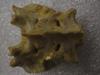 http://mczbase.mcz.harvard.edu/specimen_images/mammalogy/large/41426_hylobates_lar_lar_sacrum.jpg