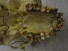 http://mczbase.mcz.harvard.edu/specimen_images/mammalogy/large/41437_hylobates_lar_lar_hv.jpg
