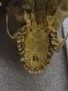 http://mczbase.mcz.harvard.edu/specimen_images/mammalogy/large/41438_hylobates_lar_lar_hv.jpg