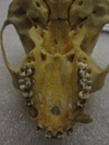 http://mczbase.mcz.harvard.edu/specimen_images/mammalogy/large/41442_hylobates_lar_lar_hv.jpg