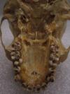 http://mczbase.mcz.harvard.edu/specimen_images/mammalogy/large/41461_hylobates_lar_lar_hv.jpg