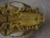 http://mczbase.mcz.harvard.edu/specimen_images/mammalogy/large/41475_hylobates_lar_lar_hv.jpg