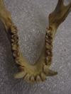 http://mczbase.mcz.harvard.edu/specimen_images/mammalogy/large/41475_hylobates_lar_lar_jd.jpg