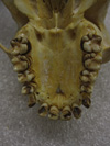 http://mczbase.mcz.harvard.edu/specimen_images/mammalogy/large/41491_hylobates_lar_lar_hv.jpg