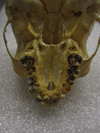 http://mczbase.mcz.harvard.edu/specimen_images/mammalogy/large/41498_hylobates_lar_lar_hv.jpg
