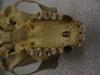 http://mczbase.mcz.harvard.edu/specimen_images/mammalogy/large/41506_hylobates_lar_lar_hv.jpg