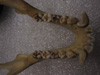 http://mczbase.mcz.harvard.edu/specimen_images/mammalogy/large/41506_hylobates_lar_lar_jd.jpg