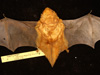 http://mczbase.mcz.harvard.edu/specimen_images/mammalogy/large/41958_Lasiurus_borealis_teliotis_d2.jpg