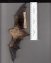 http://mczbase.mcz.harvard.edu/specimen_images/mammalogy/large/41958_Lasiurus_borealis_teliotis_v.jpg