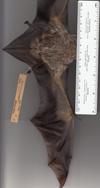http://mczbase.mcz.harvard.edu/specimen_images/mammalogy/large/41959_Lasiurus_cinereus_lv.jpg