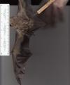 http://mczbase.mcz.harvard.edu/specimen_images/mammalogy/large/41959_Lasiurus_cinereus_rv.jpg