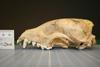 http://mczbase.mcz.harvard.edu/specimen_images/mammalogy/large/42086_Speothos_venaticus_hl.jpg