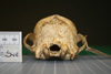 http://mczbase.mcz.harvard.edu/specimen_images/mammalogy/large/42086_Speothos_venaticus_hp.jpg