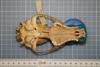 http://mczbase.mcz.harvard.edu/specimen_images/mammalogy/large/42086_Speothos_venaticus_hv.jpg