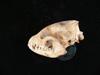 http://mczbase.mcz.harvard.edu/specimen_images/mammalogy/large/42086_speothos_venaticus_hl2.jpg
