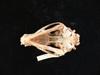 http://mczbase.mcz.harvard.edu/specimen_images/mammalogy/large/42086_speothos_venaticus_hv2.jpg