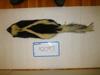 http://mczbase.mcz.harvard.edu/specimen_images/mammalogy/large/42097_Mephitis_mephitis_nigra_d.jpg