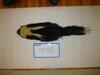 http://mczbase.mcz.harvard.edu/specimen_images/mammalogy/large/42100_Mephitis_mephitis_nigra_d.jpg