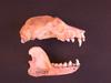 http://mczbase.mcz.harvard.edu/specimen_images/mammalogy/large/42179_Pteropus_basiliscus_hl.jpg