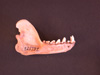 http://mczbase.mcz.harvard.edu/specimen_images/mammalogy/large/42179_Pteropus_basiliscus_ml.jpg