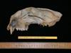 http://mczbase.mcz.harvard.edu/specimen_images/mammalogy/large/42598_Felis_concolor_cougar_hl2.jpg