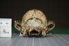 http://mczbase.mcz.harvard.edu/specimen_images/mammalogy/large/42719_Dusicyon_culpaeus_andinus_hp.jpg