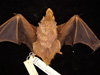 http://mczbase.mcz.harvard.edu/specimen_images/mammalogy/large/42726_Lasiurus_borealis_teliotis_d.jpg
