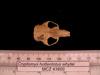 http://mczbase.mcz.harvard.edu/specimen_images/mammalogy/large/43800_Cryptomys_hottentotus_whytei_hd.jpg