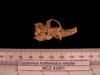 http://mczbase.mcz.harvard.edu/specimen_images/mammalogy/large/43801_Cryptomys_hottentotus_whytei_hv.jpg