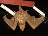 http://mczbase.mcz.harvard.edu/specimen_images/mammalogy/large/44665_Lasiurus_cinereus_d.jpg
